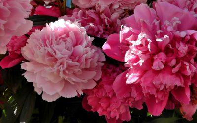 Itinerari: fioritura delle peonie e Parco Cinque Sensi a Vitorchiano